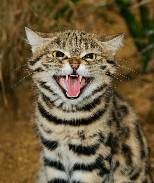 """แมวตีนดำ"""" เบื้องหลังใบหน้าอันน่ารัก ขึ้นชื่อว่าเป็นนักล่าที่น่ากลัวที่สุดในโลก - HongHong World"""